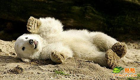 可爱的小北极熊克努特;;