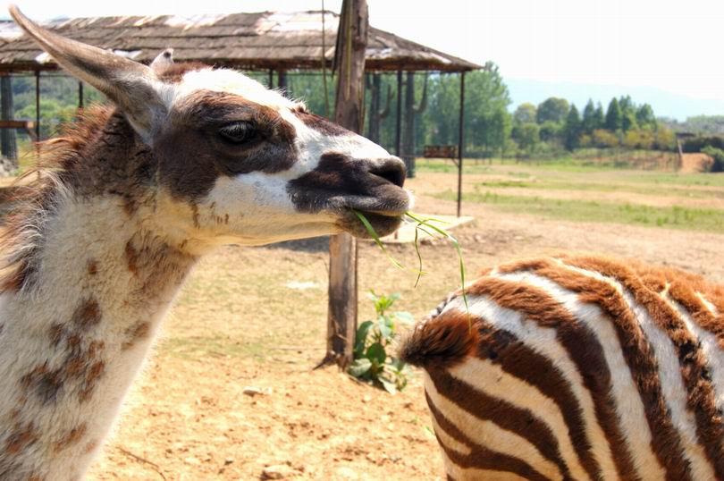杭州野生动物世界游玩归来,超级可爱的小老虎,你如此之萌为哪般?